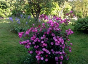 petites-roses-4